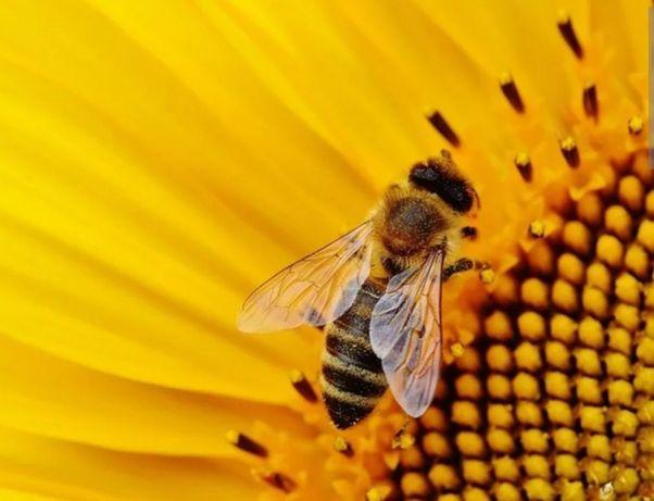 Пчелопакеты из Карпат