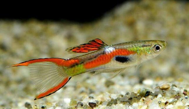 Peixes endler de agua quente