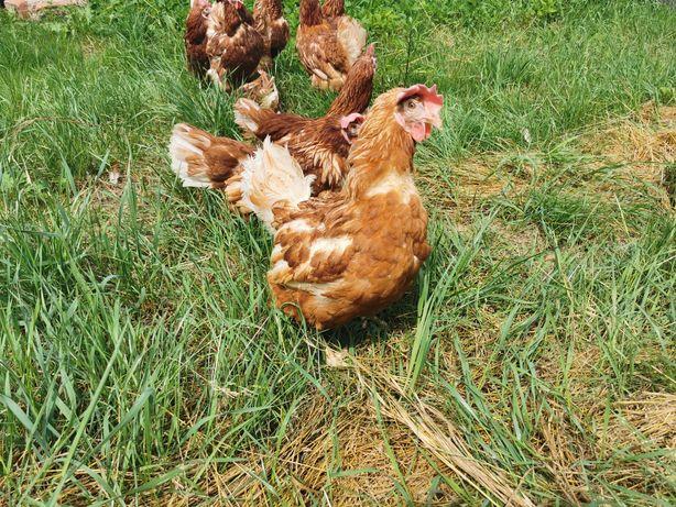 Kury nioski z jajkiem rasy Tetra, kurki  roczne odchowane