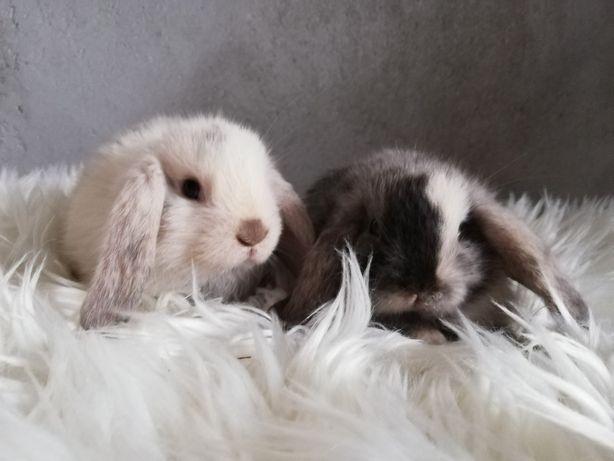 Mini lop karzełek królik miniaturka