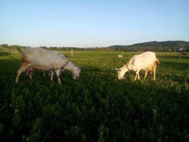 Продаются козы зааненской и заано - нубийской породы