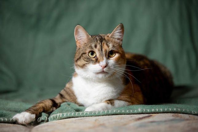 Отдам кошку трехцветку , стерилизована ,привита , 1 год