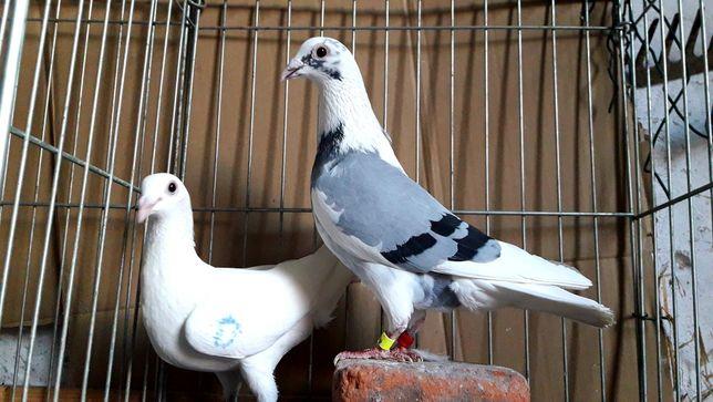 Gołębie pocztowe. Para nr15 lot