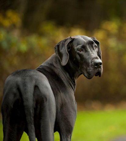 Dog niemiecki suka