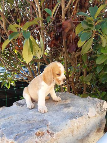 Cachorra Beagle top