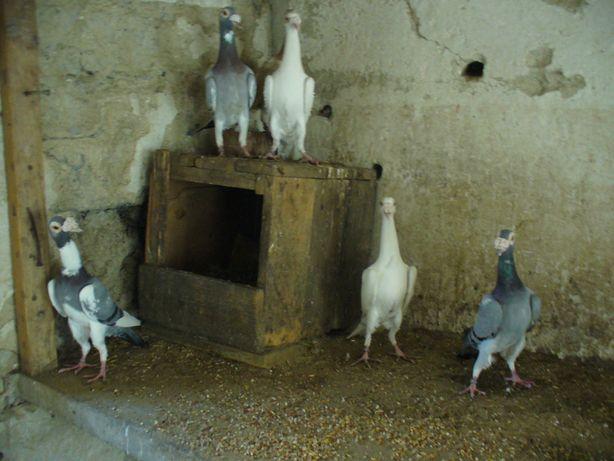 Kariery gołębie ozdobne
