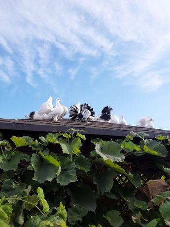 Продам голубей-павлин