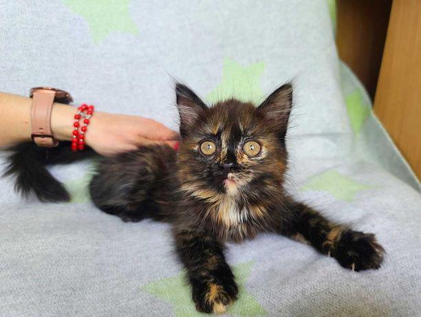 Стеша, 2 месяца, ласковая кото-девочка ищет семью! Кошка, котенок