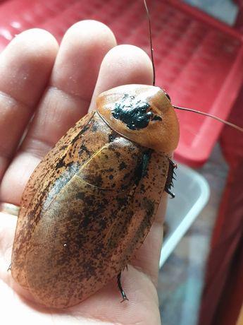 Архимандрита тесселата (Archimandrita tesselata) Коста Рика таракан