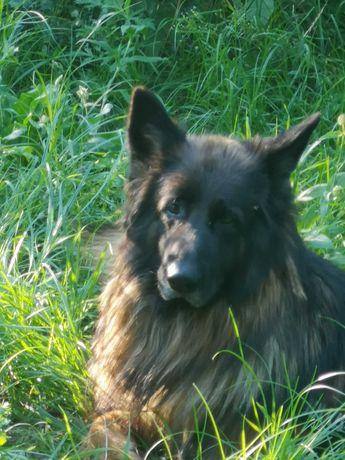 Znaleziono owczarka niemieckiego