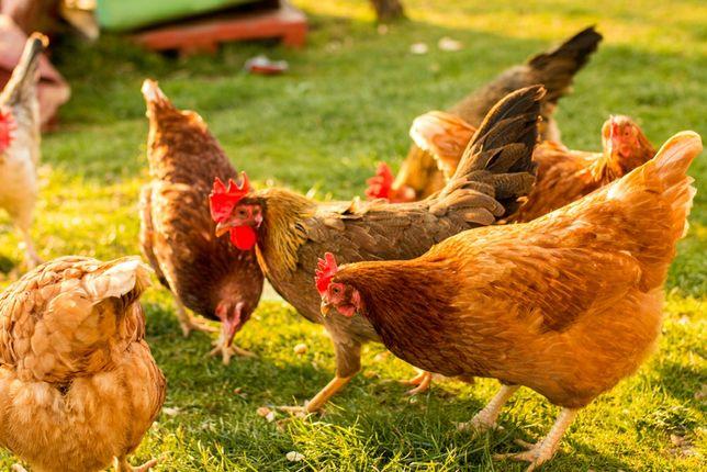 Kolorowe kury kokoszki dowóz pod dom Chmielnik i okolice
