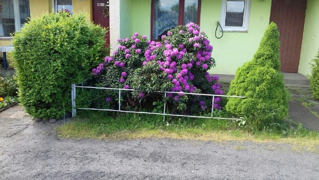 Piękny 17-letni rododendron