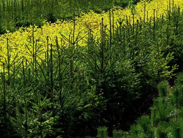Świerk Pospolity(Picea Abies) wysokość 60-80cm- z gruntu. Na żywopłot