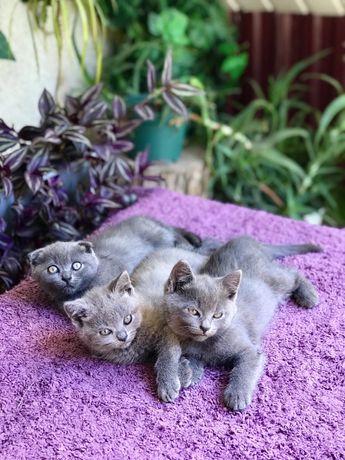 Терміново! Прямовухі британські котики