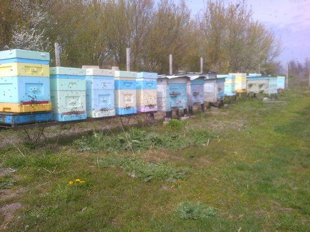Продам пчелопакеты (бджолопакети) , пчелосемьи