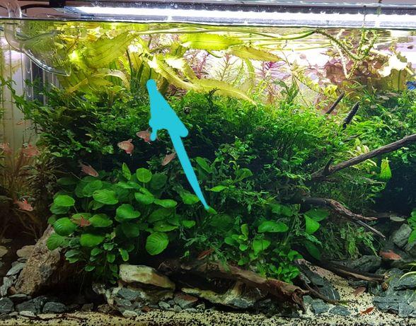 Aponogeton Crispus - Planta aquário