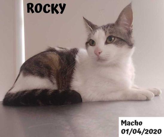 Gato Meigo 1 ano para adoção (Rocky)