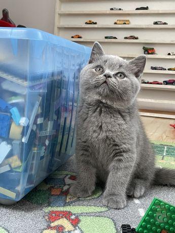 Przesłodkie kotki brytyjskie FPL rodowód piękne