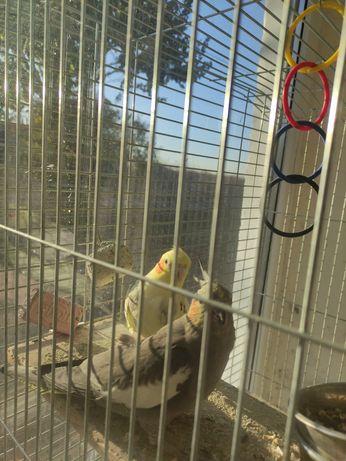 Продам попугаев  Корелл