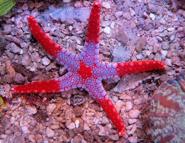 Rozgwiazda Fromia Akwarystyka morska Zabrze