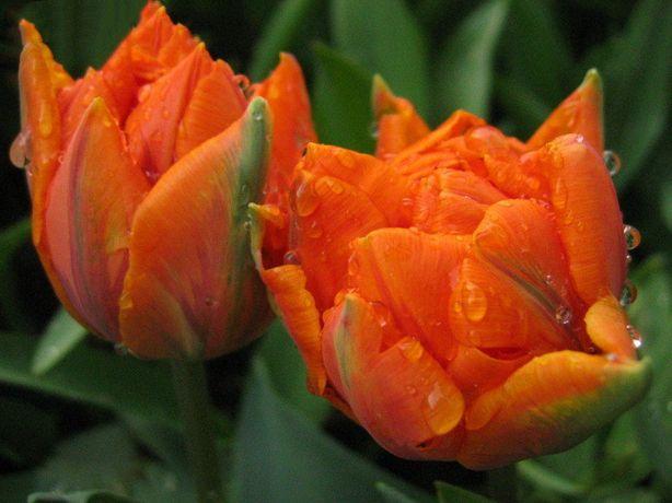 Тюльпаны, гиацинты и крокусы в горшках на 8 марта