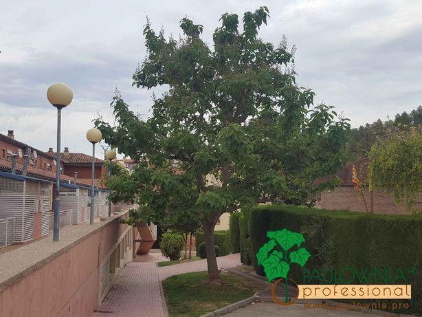 Paulownia para jardins, calçadas, avenidas e parques públicos