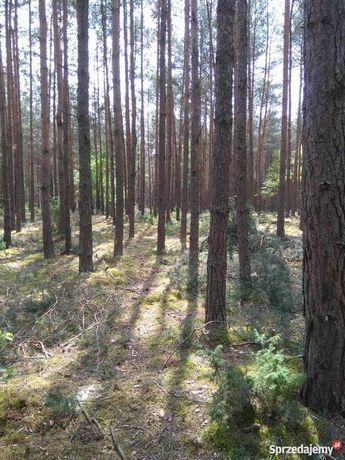 Las sosnowy okolice Kuzki