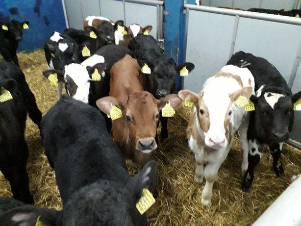Sprzedaż cielaków byczki i jałówki mięsne, krzyżówki i HF