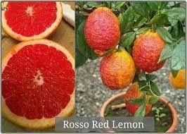 Продам Саженец Лимона Россо (Красный лимон)