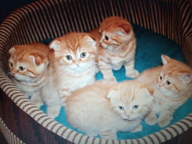 Шотландские котята вислоухие и прямоухие