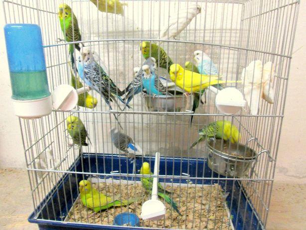 Papugi faliste - idealne do oswojenia