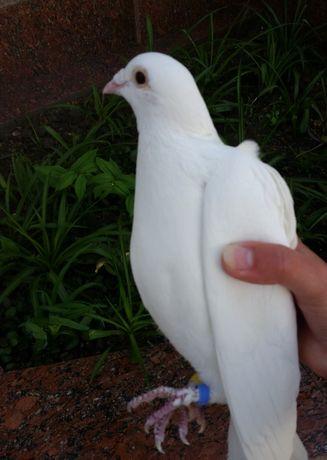 Продам белых почтовых голубей