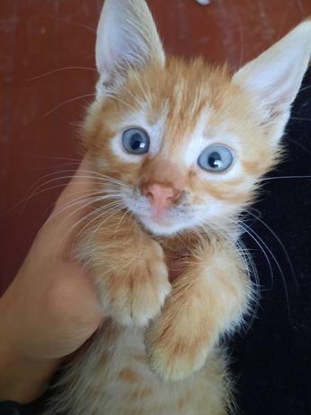Отдам 3 рыжих котят , мальчики с голубыми глазами