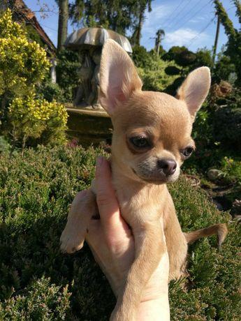 Chihuahua Krótkowłosy Gacek z Hodowli Bajeczne Urwisy
