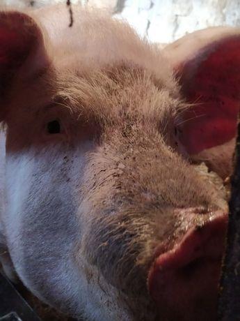Продам дві свині ДОМАШНІ