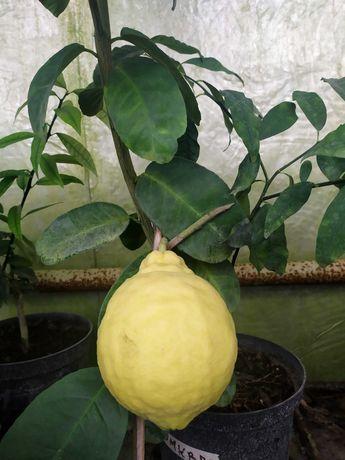 Продам саджанці лимонів
