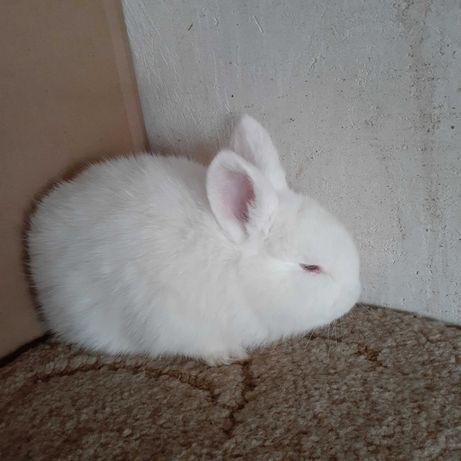 Кролики породы НЗБ НЗК Венский голубой в чистоте самцы