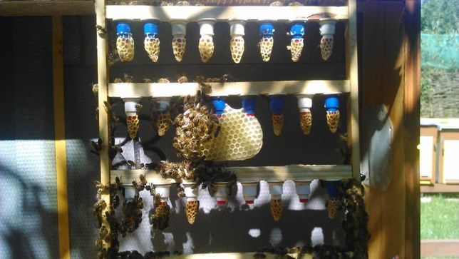 matki pszczele CT 46, Aga3,Alpejka , S ,Gemma ,Kortówka, Buckfast KB