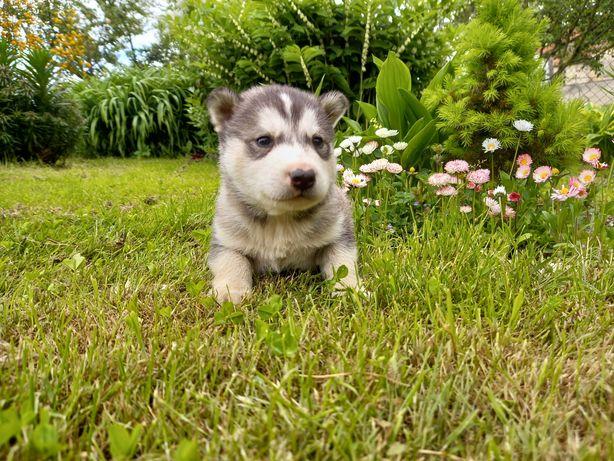 Husky pies piesek silver ostatni szczeniak pies siberian husky do odbi