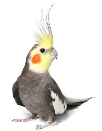 Волнистые попугаи Ручные птенчики.Выставочные волнистые .