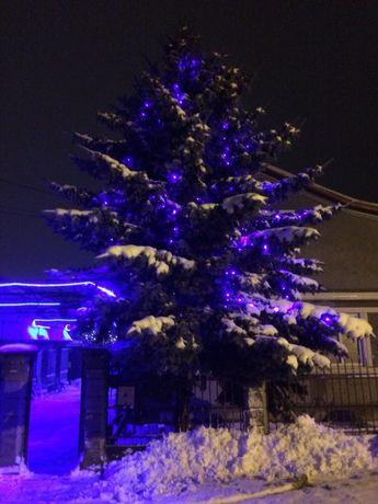 Ель голубая елка