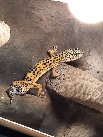 Gekon lamparci z terrarium i wyposażeniem