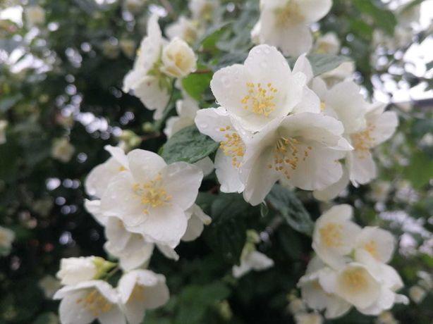 Planta de jasmim