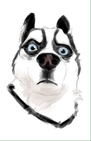 Шерсть, подшерсток собаки (сибирский хаски)