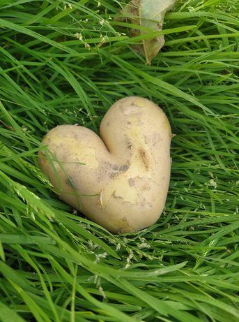 Ziemniaki jadalne hurt