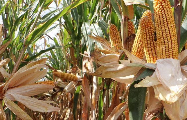 ES Yakari FAO 210 Nasiona kukurydzy