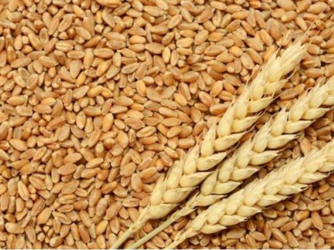 Пшениця на муку. Хорохорин - изображение 1