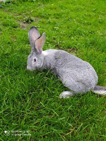 Кролі шиншила
