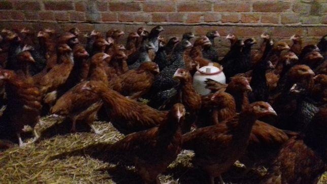 Kurczaki kaczki gęsi Brojlery Perliczki indyki kury