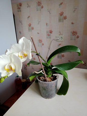 Орхидея и каланхое цветущее